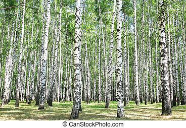 木立ち, 7月, シラカバ