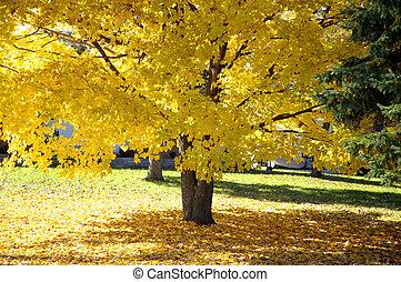 木, かえで, 秋
