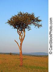 木, アカシア, アフリカ, 風景