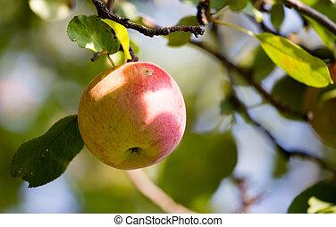 木, アップル, 熟した, 自然