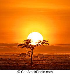 木, インパラ, acacai, 下に, amboseli, 日の出