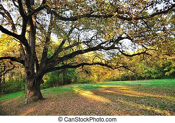 木, オーク, 公園