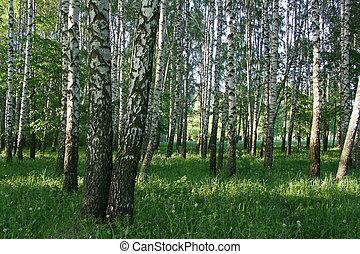 木, シラカバ