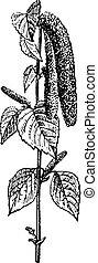 木, シラカバ, 型, engraving.