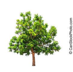 木, トロピカル, indica), neem, (azadirachta, 北東, 植物