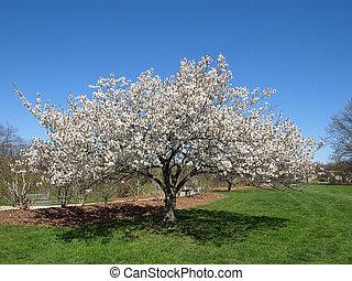 木, 単一, 開くこと, spring.