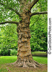 木, 古い