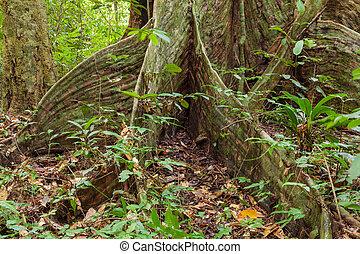 木, 扶壁, 定着する, rainforest