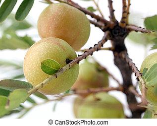 木, 特性, 使われた, centuries, gooseberry(amla, ∥あるいは∥, インド,...