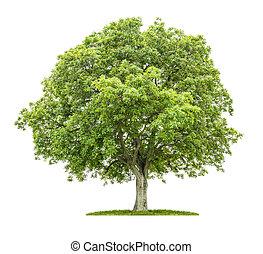 木, 白, 古い, 背景, くるみ