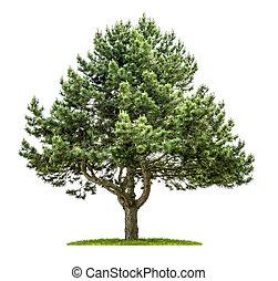 木, 白, 古い, 背景, 松