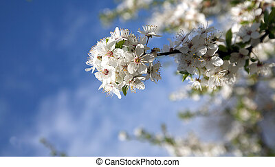 木, 花, 背景, 花, さくらんぼ, 春