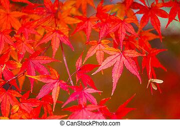 木, 赤いカエデ