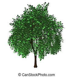 木, 隔離された, かえで