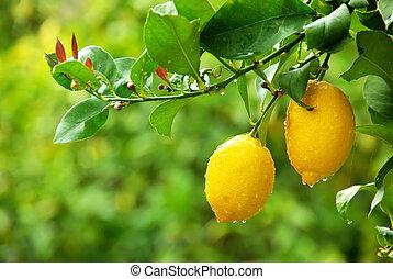 木, 黄色, レモン, 掛かること
