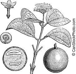 木, nux-vomica, strychnos, イラスト, 型, strychnine, 刻まれる, ∥あるいは∥