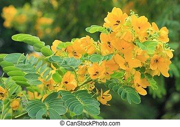 木, surattensis, -, 花, 卵, はい登った, f.), センナ, (burm.