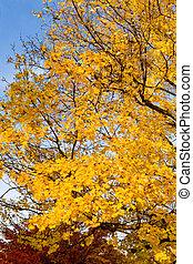束, 黃色, 秋季槭樹葉, 樹