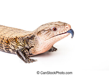 東, blue-tongued, skink, 白, 背景