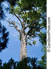 松樹, 以及藍色, 天空
