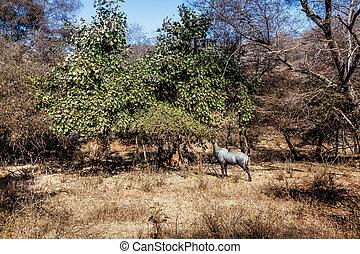 林間の空き地, 朝食, 青, 雄牛, 持つこと
