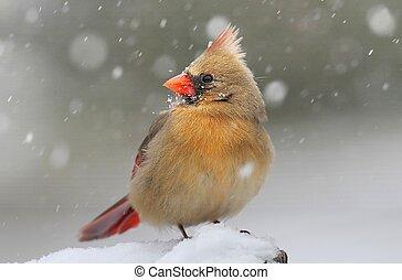 枢機卿, 中に, 雪