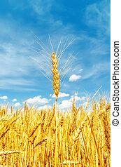 柔らかい, 金, field., フォーカス, 大麦