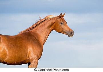 栗子, 藍色, 馬, 天空, 頭