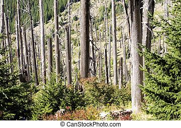 株, 写真, の, 燃えた, 木, 台紙st. helens