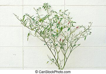 栽培された, チリ, 木, 壁, 次に, vegetable., 家, 白