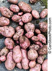 栽培された, 選ばれた, ポテト, ポテト, 収穫, パッチ, 新たに, 野菜, 家, orgnic