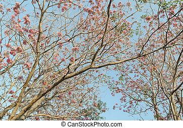 桃红色花, 花, 树, 在公园, 带, 蓝的天空, 泰国