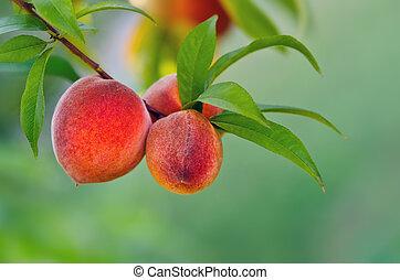 桃, 木, 掛かること