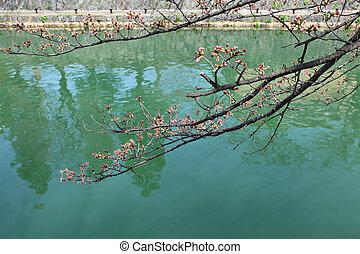 桜の木, つぼみ