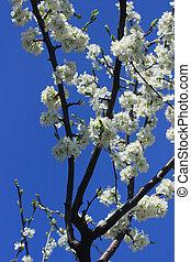 桜の木, 咲く