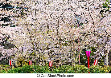 桜の木, 寺院