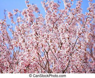 桜の木, 日本