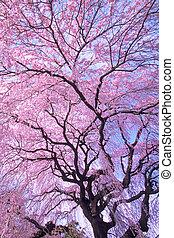 桜の木, 泣く
