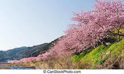 桜の木, kawazu