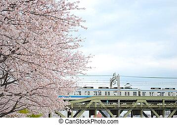 桜, の間, 春