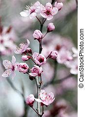 桜, 花, 赤