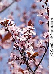 桜, 赤い花