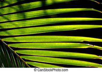 棕櫚 葉狀體, 細節