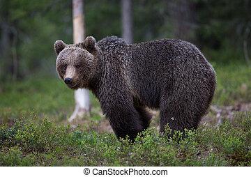 棕色的熊, 在中, tiaga, 森林