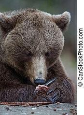 棕色的熊, 在, tiaga, 森林