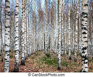森林, シラカバ