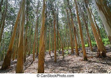 森林, ユーカリ, スペイン, galicia