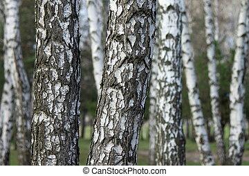 森林, 木, シラカバ, シラカバ