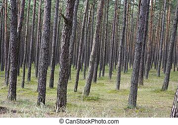 森林, 松