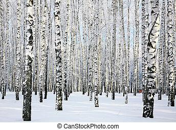 森林, january, 陽光普照, 冬天, 樺樹